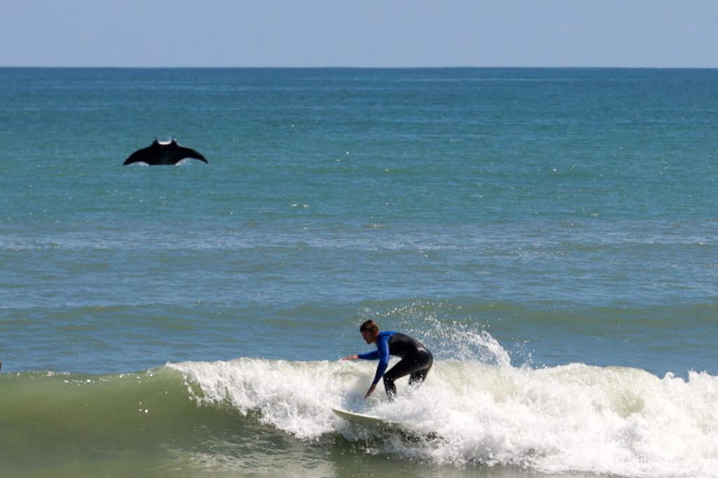Manta ray photobombs surfer in Florida