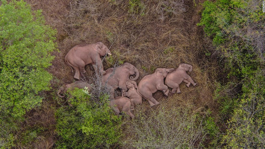 Wild elephants: China's internet can't stop watching the wandering herd